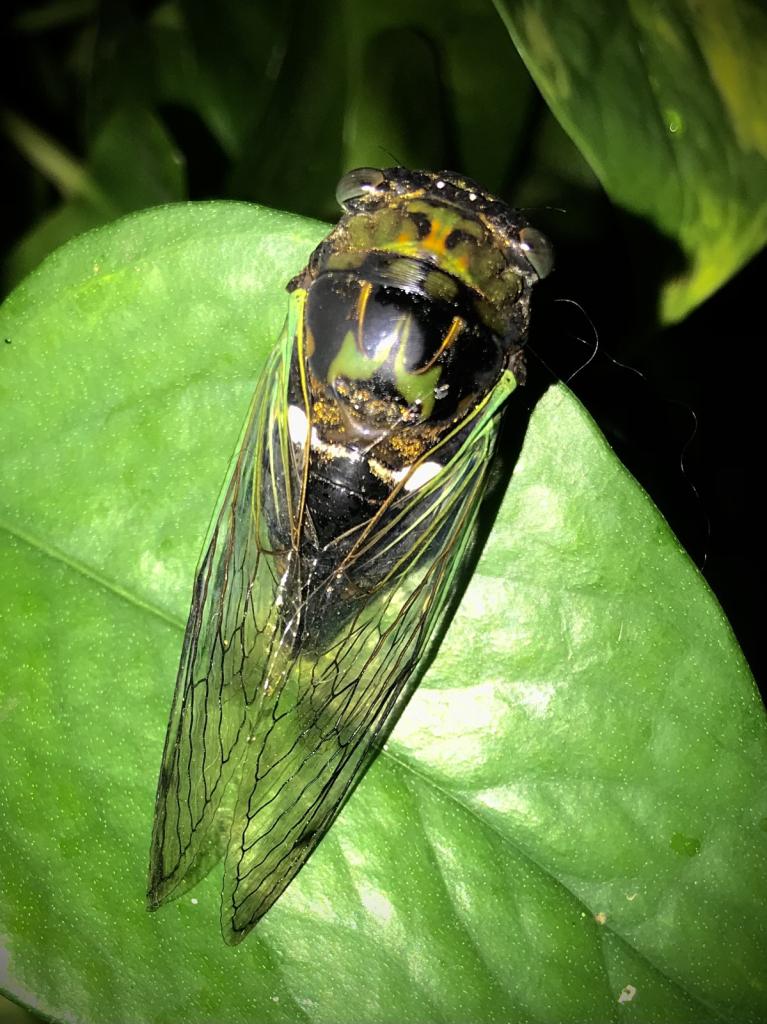 Cicada - ID: 15953274 © Elizabeth A. Marker