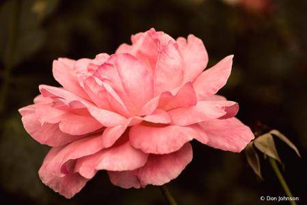 Pink Rose 10-10-21 014