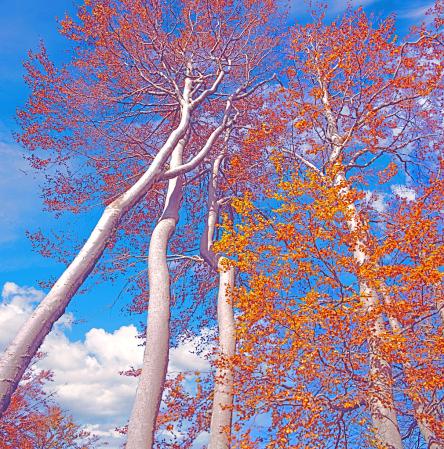 Beech Trees in Fall dress.