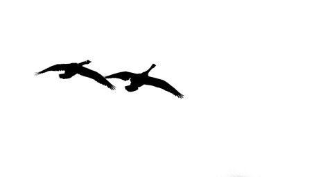 Two Goose Flyby