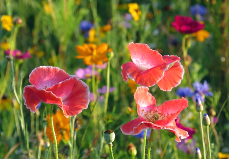 More Poppies And Friends