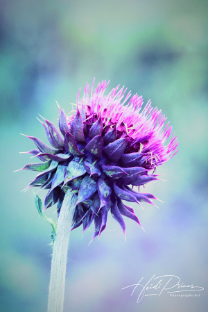 October Thistle