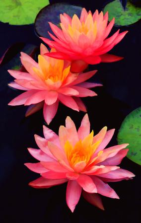Three Pink Waterlilies