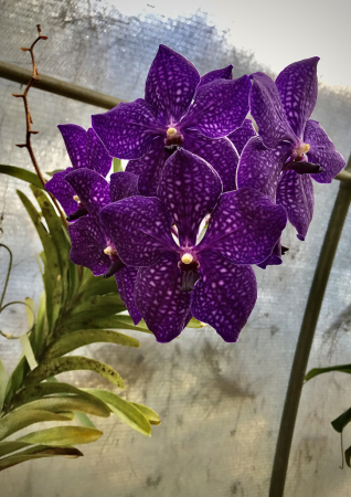 Purple Vanda coerulea Orchid