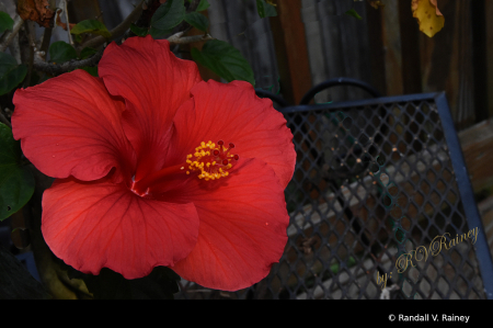 The Full bloom of the Hibiscus..