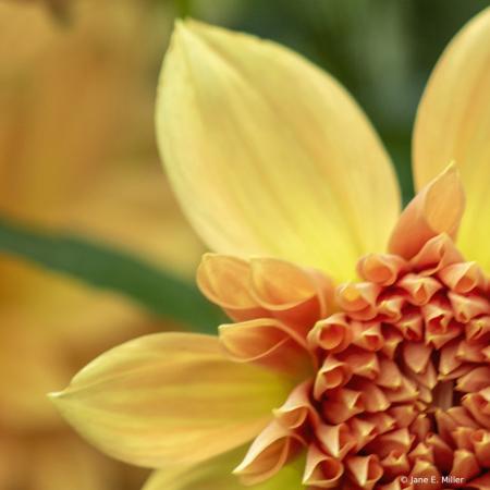 Yellow Dahlia!
