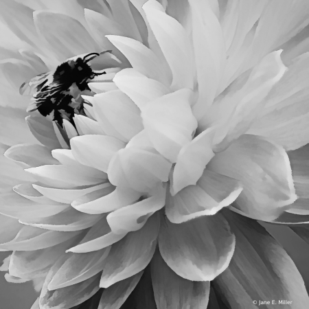Black and White Dahlia with Bee