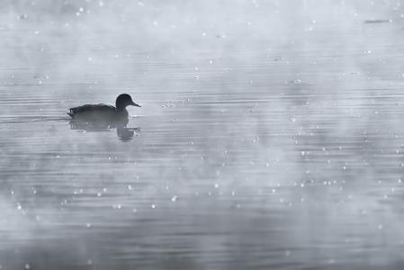 Morning Duck