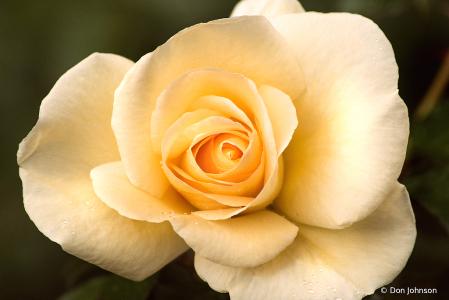 Pale Yellow Rose 10-24-21 204
