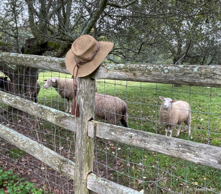Sheep Eying the Hat