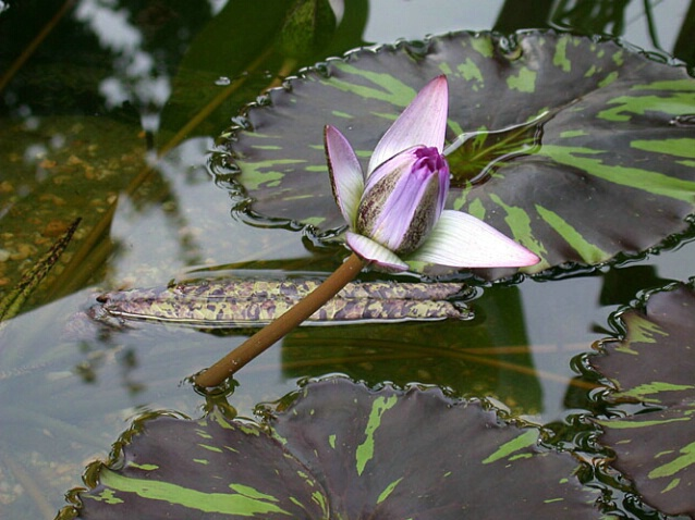 Water Lilies 15
