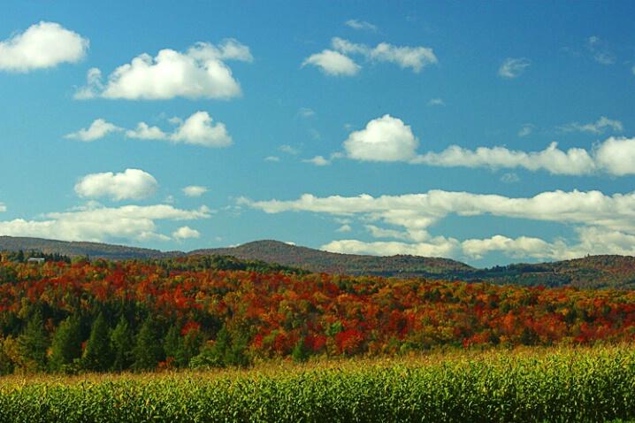 Corn Panorama