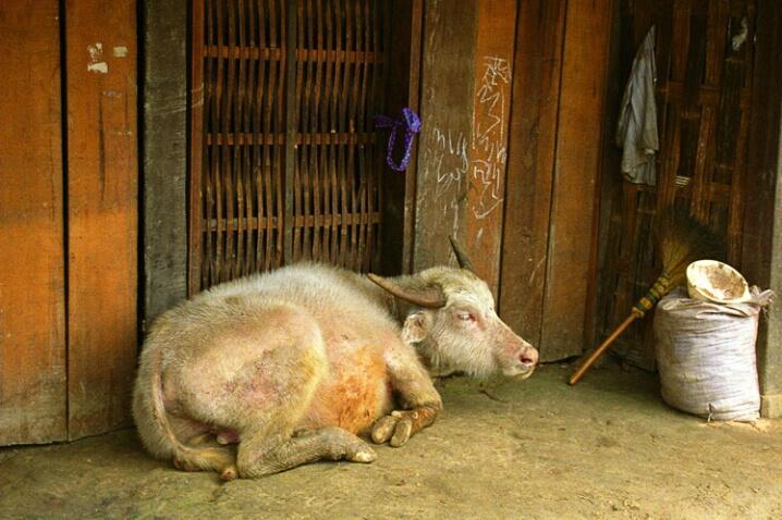 Baby Albino Water Buffallo-Vietnam