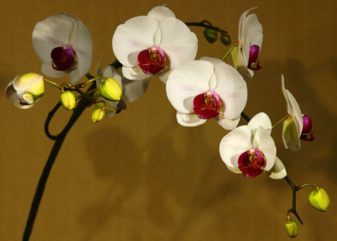 Orchid Sprig