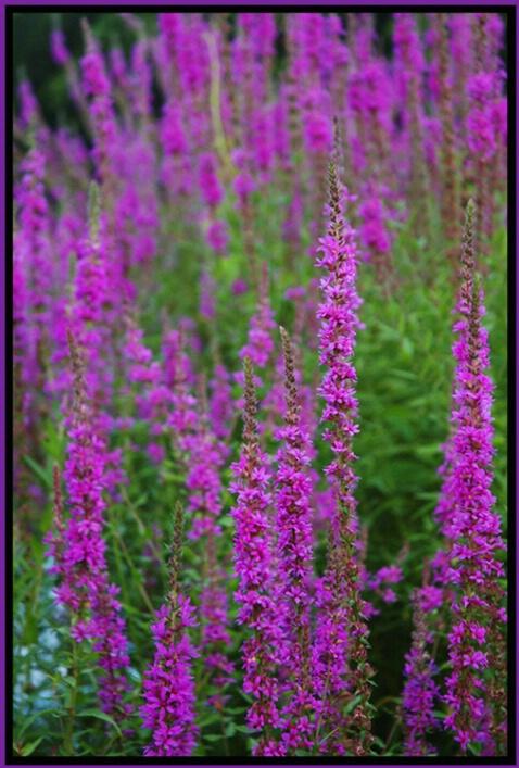 Purple Loose Strife, Birkshires, Mass.
