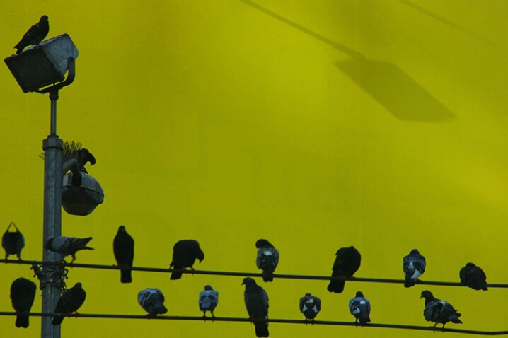 N.Y.C. Pigeons