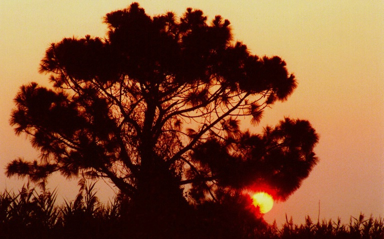 Sunset Through Pine