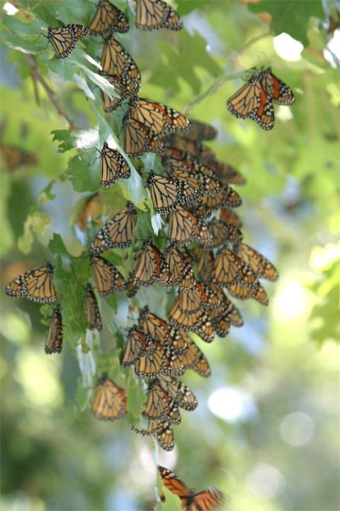 Monarchs Return to Del Rio