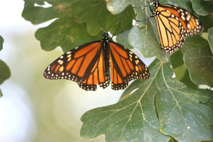 A pair of Monarchs