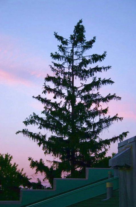 Tree by Twilight