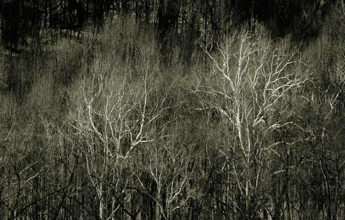 Sycamore Trees Berkley Springs, W. Virginia