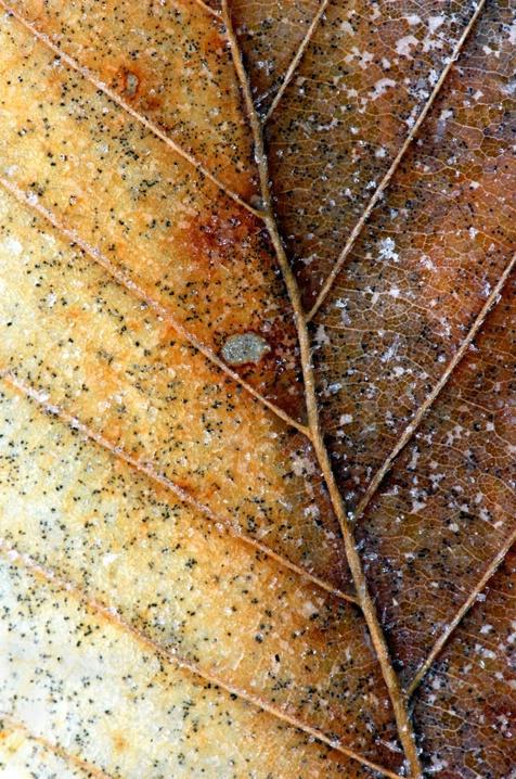 Icy Beech Leaf