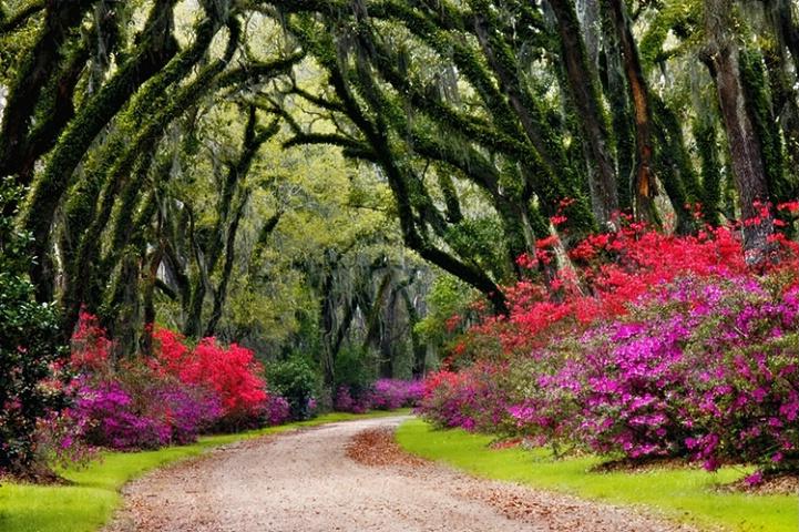 Azaleas, Oaks and Moss