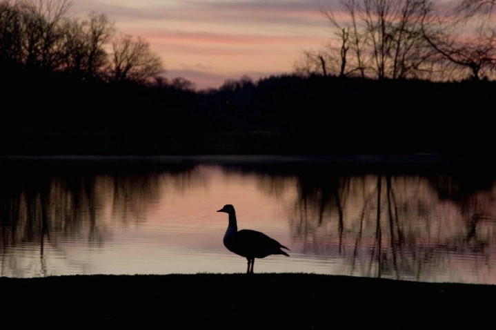 Goose at dawn I