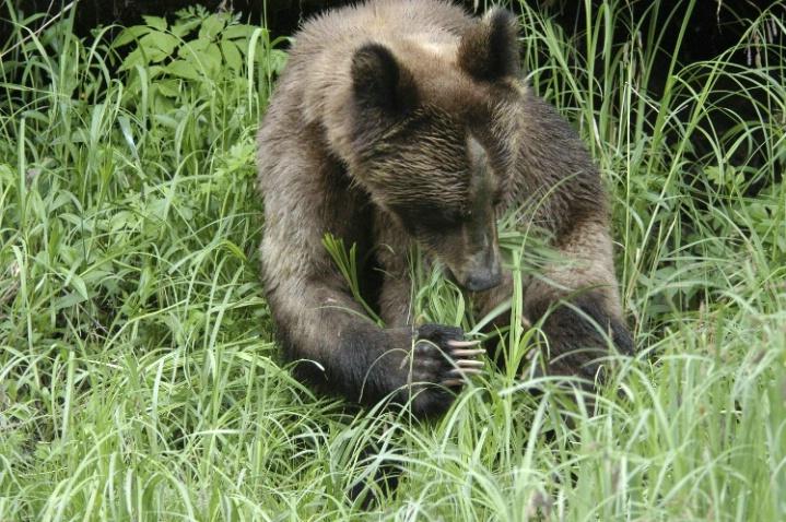 Grazing bear