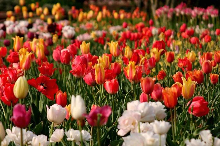 Tulips at the Biltmore Inn, NC
