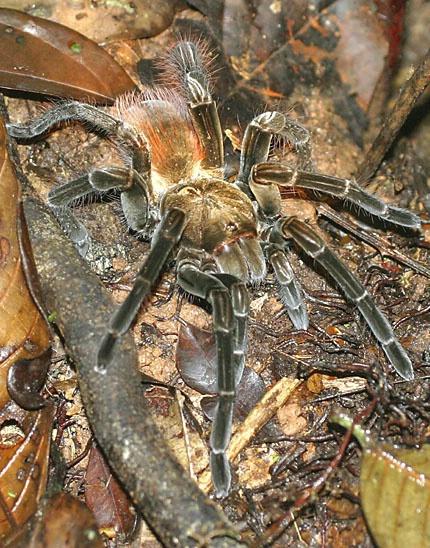 Tarantula along the Amazon