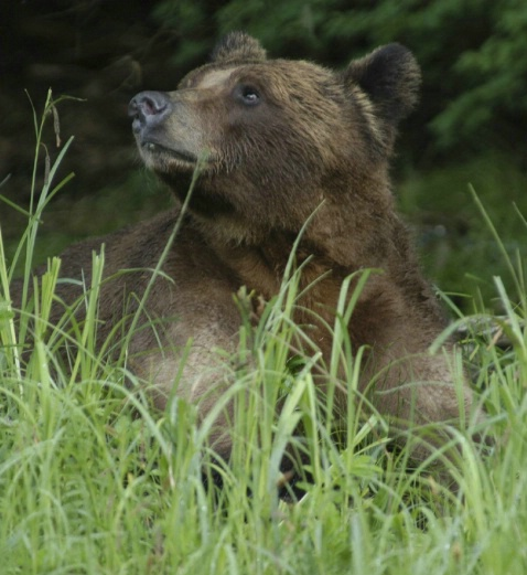 Young female grizzly