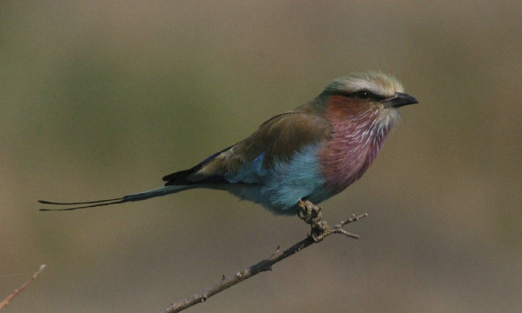 Perched Roller