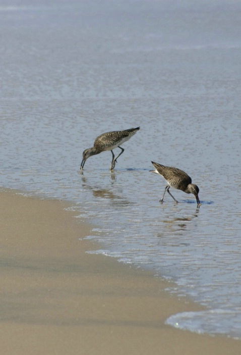 Willets Wading