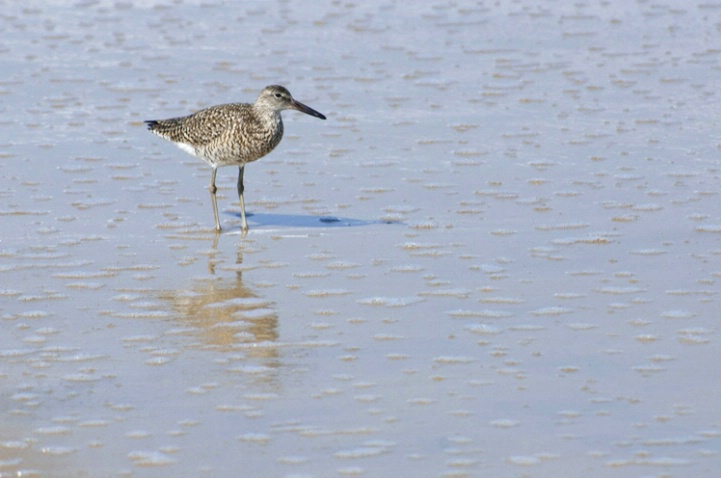 Willet and Surf
