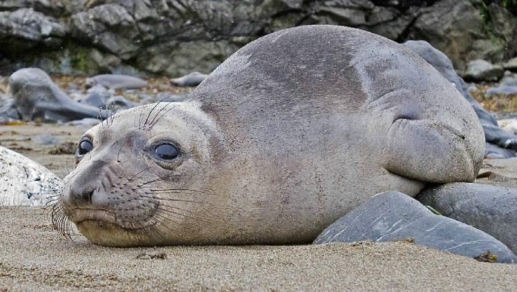 Elephant Seal Pup at San Simeon