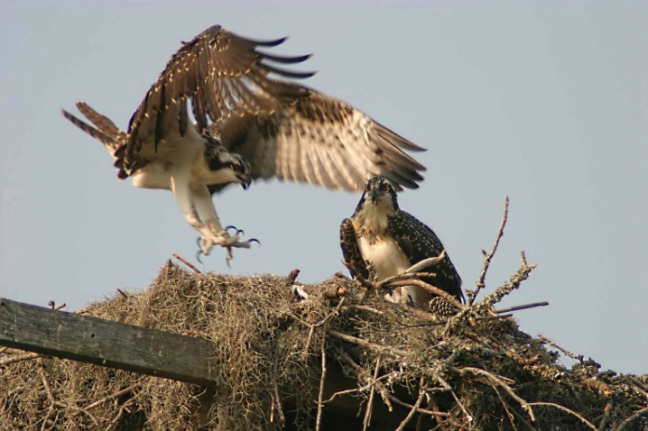 Ospreys - Learning to Fly