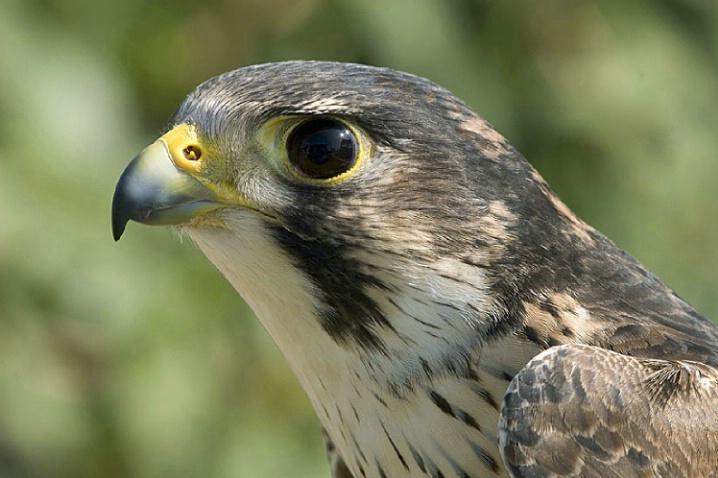 Paragrin Falcon