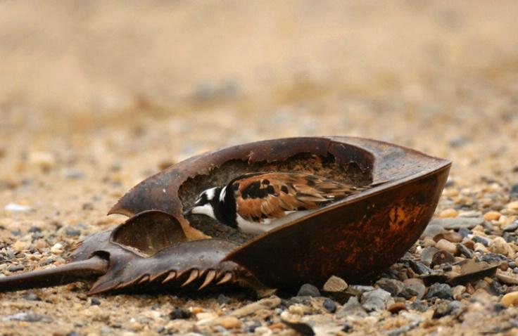 Rudy Turnstone In Horseshoe Crab