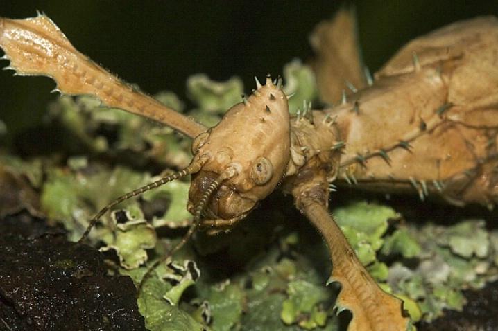 New Guinea Thorny Stick