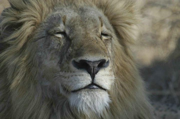 Lion relaxing