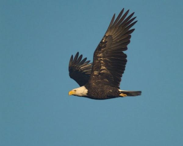 Eagle In Flight 01