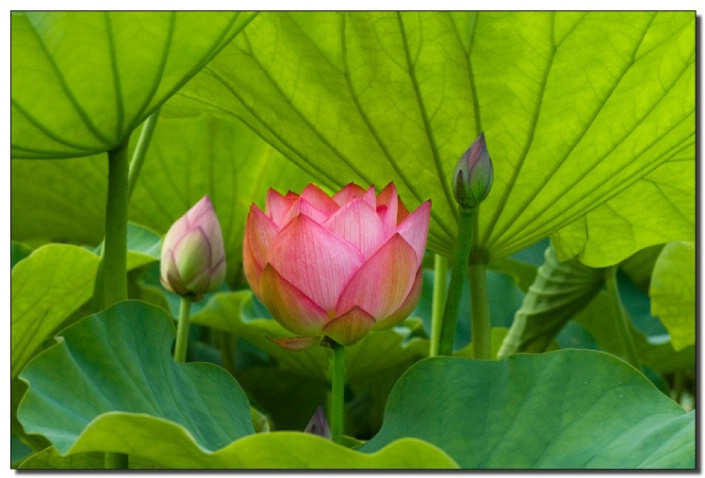 Lotus in Shadows
