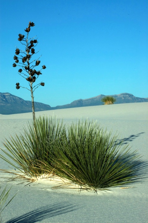 Yucca Plant - White Sands, NM