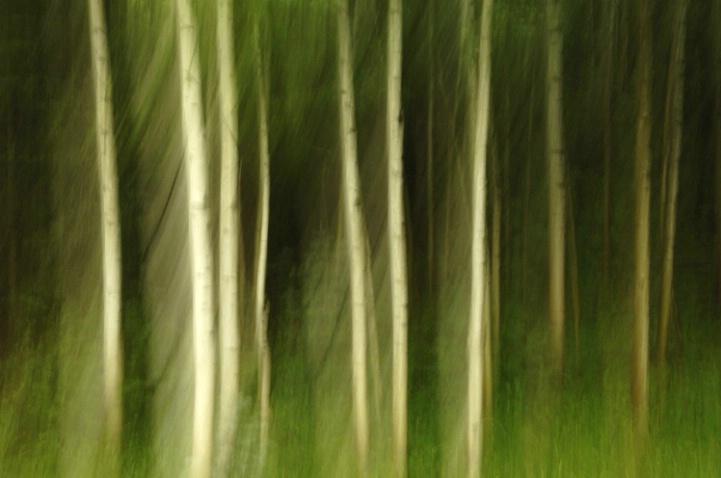 Aspen Forest 3