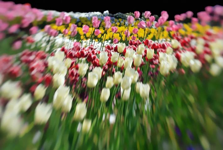 Dizzy Tulips