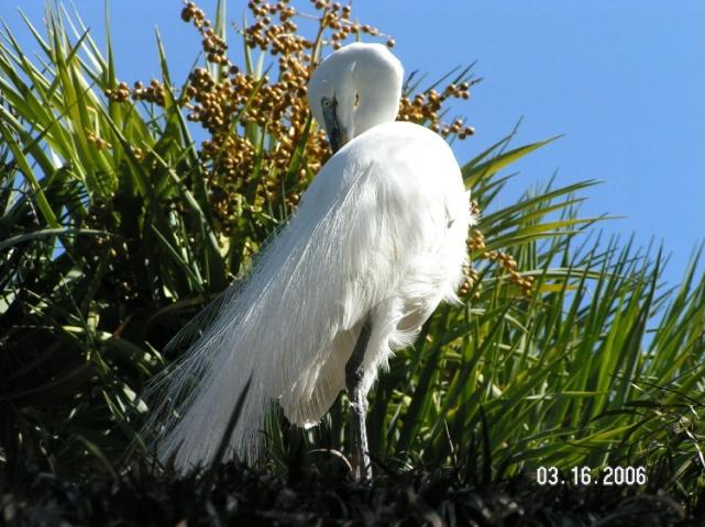 Egret show off