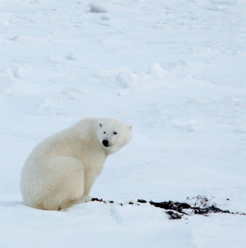 My first Polar Bear Capture