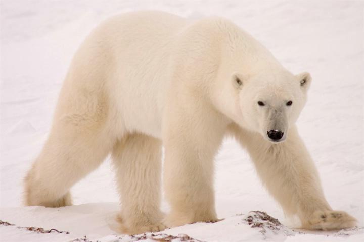 Stalely male Polar Bear