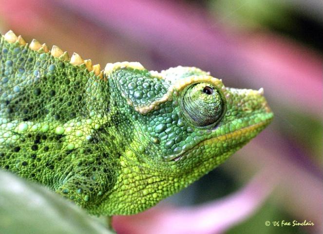 Ms Chameleon
